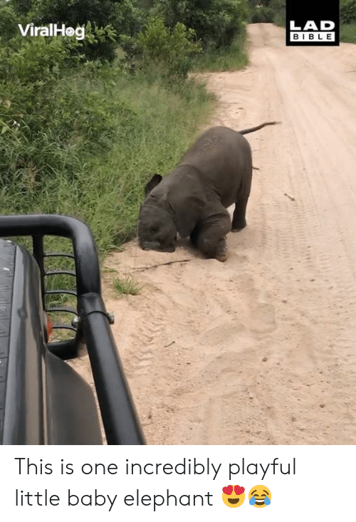 playful: ViralHeg  LAD  BIBLE This is one incredibly playful little baby elephant 😍😂