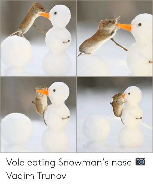 Vole, Nose, and Snowman: Vole eating Snowman's nose 📷Vadim Trunov
