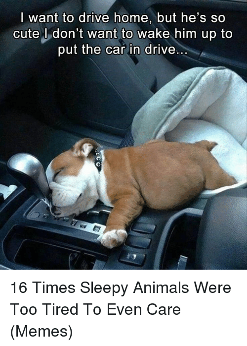 Animals, Cute, and Memes: want to drive home, but he's so  cute U don't want to wake him up to  put the car in drive 16 Times Sleepy Animals Were Too Tired To Even Care (Memes)