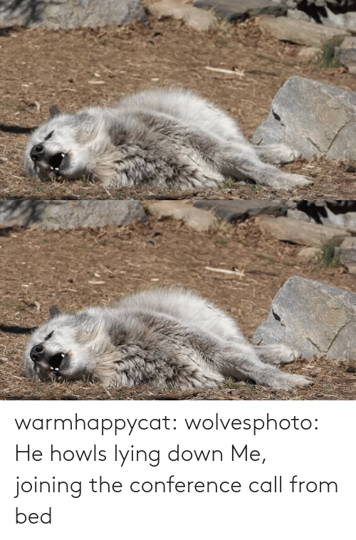bed: warmhappycat:  wolvesphoto: He howls lying down   Me, joining the conference call from bed