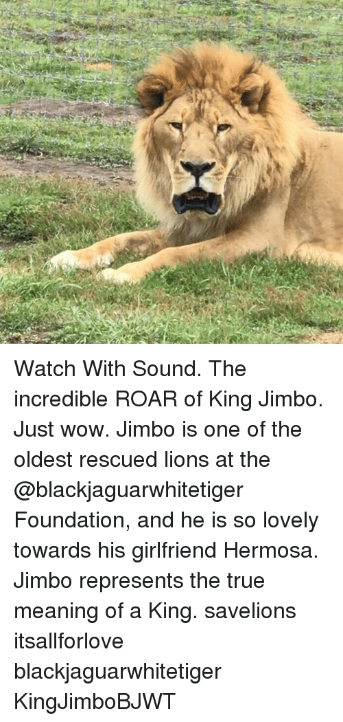 Memes, True, and Wow: Watch With Sound. The incredible ROAR of King Jimbo. Just wow. Jimbo is one of the oldest rescued lions at the @blackjaguarwhitetiger Foundation, and he is so lovely towards his girlfriend Hermosa. Jimbo represents the true meaning of a King. savelions itsallforlove blackjaguarwhitetiger KingJimboBJWT