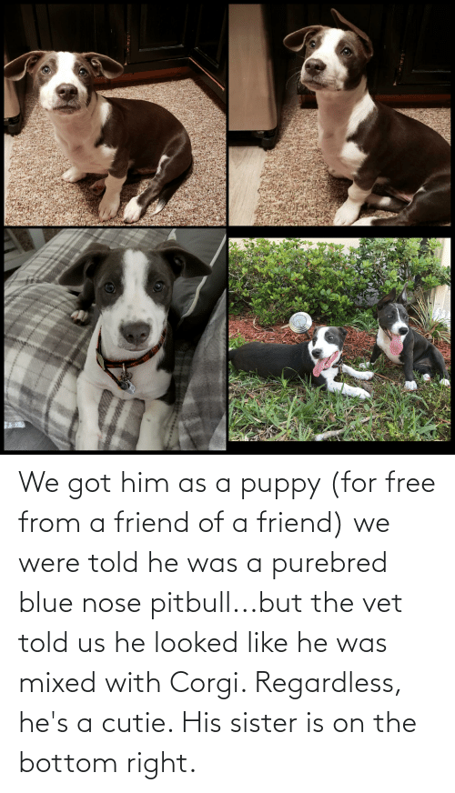 regardless: We got him as a puppy (for free from a friend of a friend) we were told he was a purebred blue nose pitbull...but the vet told us he looked like he was mixed with Corgi. Regardless, he's a cutie. His sister is on the bottom right.