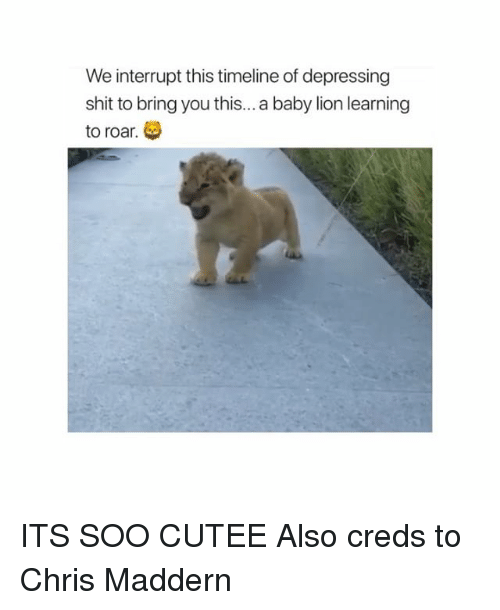 Memes, Shit, and Lion: We interrupt this timeline of depressing  shit to bring you this...a baby lion learning  to roar. ITS SOO CUTEE Also creds to Chris Maddern