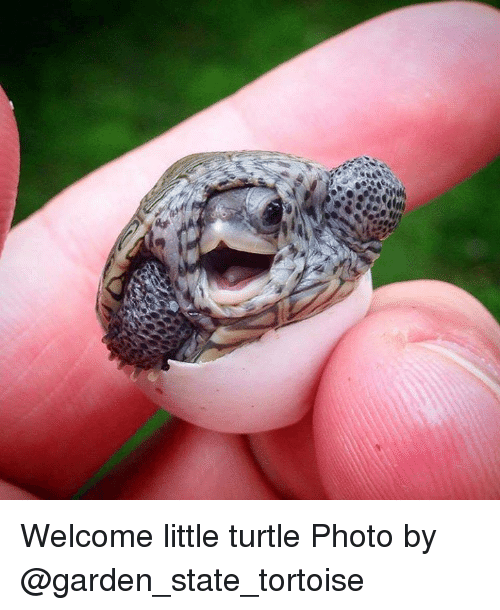 Turtling: Welcome little turtle  Photo by @garden_state_tortoise