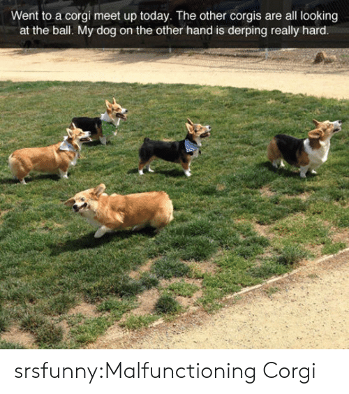 Corgis: Went to a corgi meet up today. The other corgis are all looking  at the bal. My dog on the other hand is derping really hard srsfunny:Malfunctioning Corgi