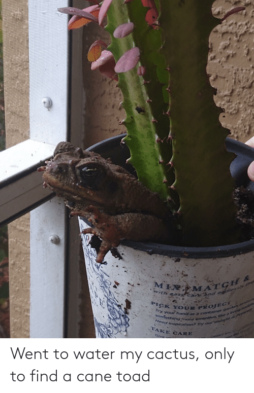 toad: Went to water my cactus, only to find a cane toad
