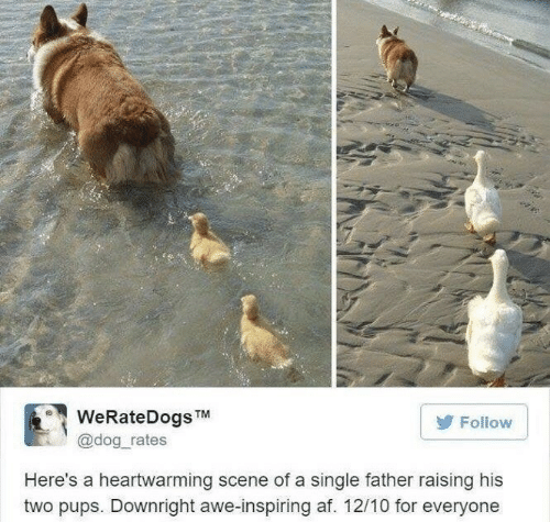 Af, Single, and Dog: WeRateDogsTM  @dog_rates  Follow  Here's a heartwarming scene of a single father raising his  two pups. Downright awe-inspiring af. 12/10 for everyone