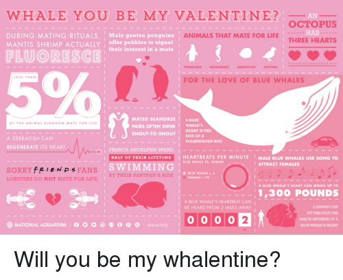 Animals, Funny, and Life: WHALE YOU BE MY VALENTINE?  AN  OCTOPUS  HAS  THREE HEARTS  DURING MATING RITUALS, 1 Male gentoo penguins  MANTIS SHRIMP ACTUALLY offer pebbles to signal  ANIMALS THAT MATE FOR LIFE  their interest in a mate  FLUORESCEI SO  PENGUINS  SEAHORSES  ANGELFISH  PUFFINS  LESS THAN  FOR THE LOVE OF BLUE WHALES  MATED SEAHORSE &BLUE  PAIRS OFTEN SWIM WHALE'S  SNOUT-TO-SNOUT SIZE OF A  OF THE ANIMAL KINGDOM MATE FORLIFE  HEART IS THE  A ZEBRAFISH CAN  VOLKSWAGEN BUG  REGENERATE ITS HEART  Oc  I FRENCH ANGELFISH SPEND-  HALF OF THEIR LIFETIME HEARTBEATS PER MINUTE MALE BLUE WHALES USE SONG TO  SWIMMING  BLUE WHALE VS. HUMAN  ATTRACT FEMALES  SORRY FRIENPs FANS  LOBSTERS DO NOT MATE FOR LIFE  BLUE WHALE 6  HUMAN = 70  BY THEIR PARTNER'S SIDE  A BLUE WHALE'S HEART CAN WEIGH UP TO  1,300 POUNDS  A BLUE WHALE'S HEARTBEAT CAN  BE HEARD FROM 2 MILES AWAY  A HUMAN CAN  FIT THROUGH THE  MAJOR ARTERIES OFA  BLUE WHALE'S HEART  2  靂NATIONAL AQUARIUM O O O  囤@ @  aqua.org