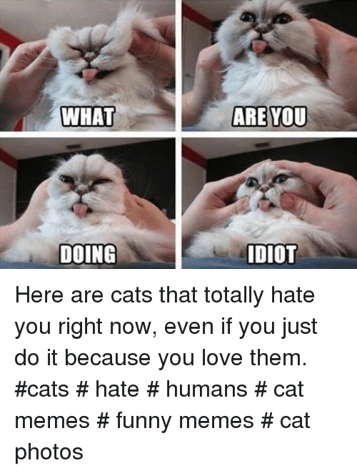 Cats, Funny, and Just Do It: WHAT  ARE YOU  DOING  DIOT Here are cats that totally hate you right now, even if you just do it because you love them.  #cats # hate # humans # cat memes # funny memes # cat photos
