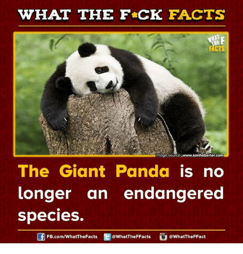 giant panda: WHAT THE FCK FACTS  moge source  www.sonhaberler.com  The Giant Panda  is no  longer an endangered  species.  FB.com/WhatThe Facts  @WhatTheFFacts  @WhatTheFFact