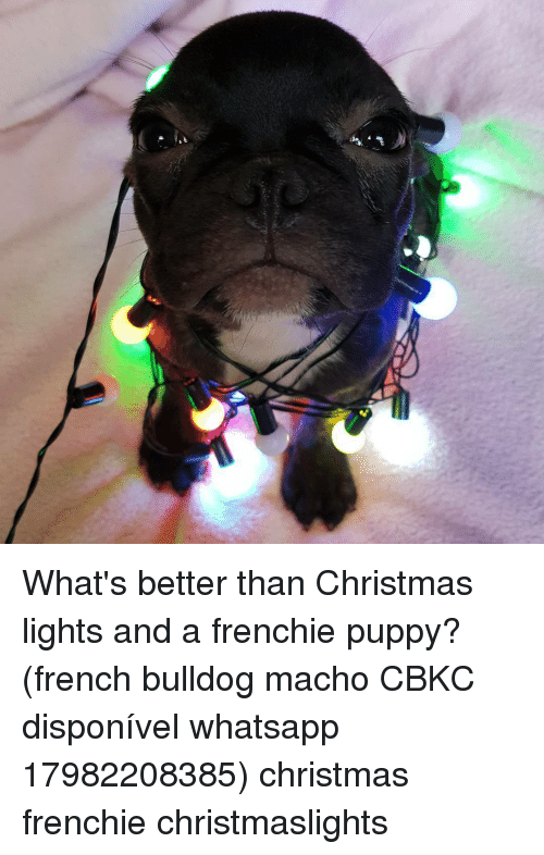 French Bulldogs: What's better than Christmas lights and a frenchie puppy? (french bulldog macho CBKC disponível whatsapp 17982208385) christmas frenchie christmaslights