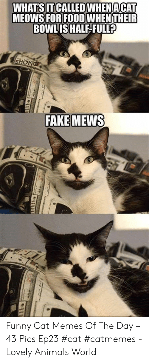 Cat Memes: WHAT'S IT CALLED WHENACAT  MEOWS FOR FOOD WHENTHEIR  BOWLIS HALF-FULL  SHOKO  FAKE MEWS Funny Cat Memes Of The Day – 43 Pics Ep23 #cat #catmemes - Lovely Animals World