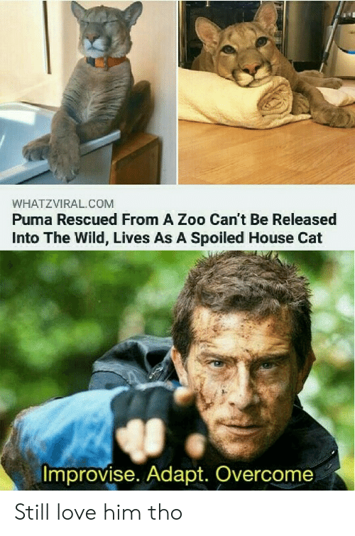 Cant Be: WHATZVIRAL.COM  Puma Rescued From A Zoo Can't Be Released  Into The Wild, Lives As A Spoiled House Cat  Improvise. Adapt. Overcome Still love him tho