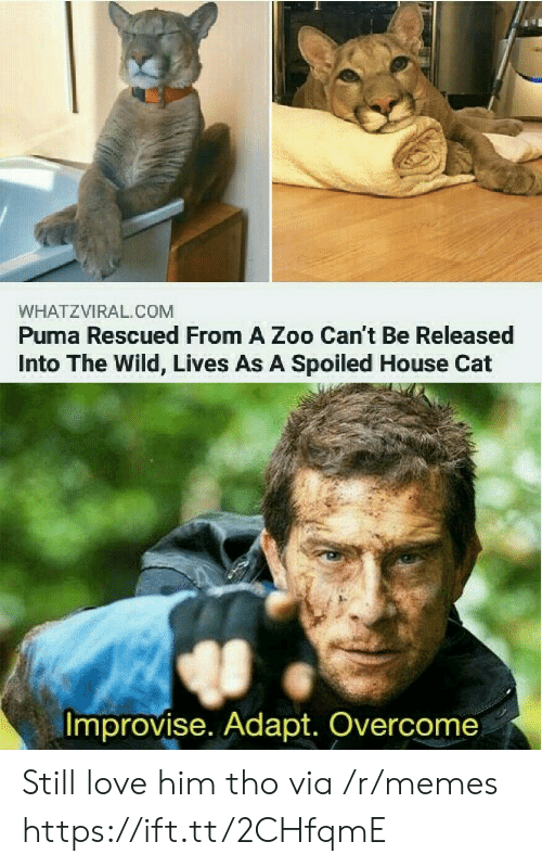 Love, Memes, and Puma: WHATZVIRAL.COM  Puma Rescued From A Zoo Can't Be Released  Into The Wild, Lives As A Spoiled House Cat  Improvise. Adapt. Overcome Still love him tho via /r/memes https://ift.tt/2CHfqmE