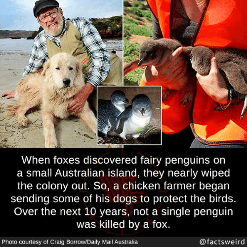 Craig: When foxes discovered fairy penguins on  a small Australian island, they nearly wiped  the colony out. So, a chicken farmer began  sending some of his dogs to protect the birds.  Over the next 10 years, not a single penguin  was killed by a fox.  Photo courtesy of Craig Borrow/Daily Mail Australia  @factsweird