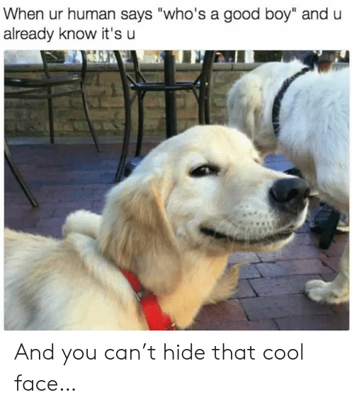 "Cool, Good, and Boy: When ur human says ""who's a good boy"" and u  already know it's u And you can't hide that cool face…"
