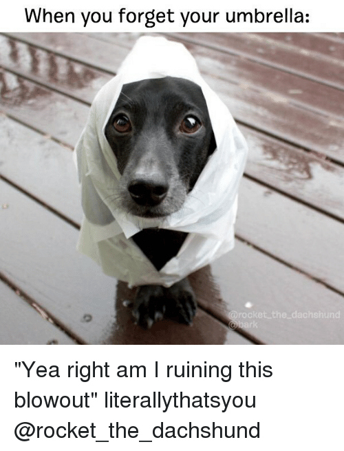 """dachshunds: When you forget your umbrella:  arooket the dachshund """"Yea right am I ruining this blowout"""" literallythatsyou @rocket_the_dachshund"""