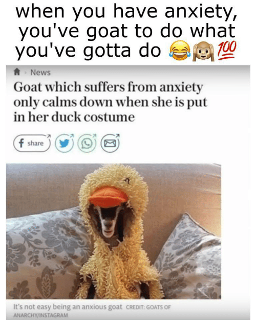 Anaconda, Instagram, and News: when you have anxiety,  you've goat to do what  you've gotta do  100  News  Goat which suffers from anxiety  only calms down when she is put  in her duck costume  7  It's not easy being an anxious goat cREDIT GOATS OF  ANARCHY/INSTAGRAM