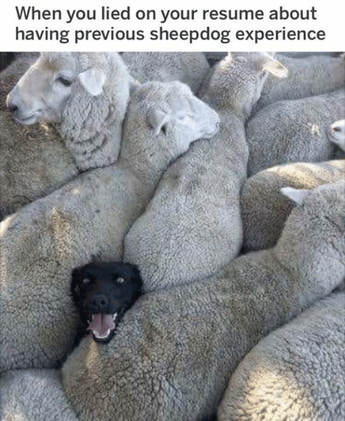 sheepdog: When you lied on your resume about  having previous sheepdog experience