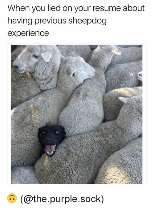 sheepdog: When you lied on your resume about  naving previous sheepdog  experience 🙃 (@the.purple.sock)