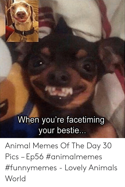bestie: When you're facetiming  your bestie... Animal Memes Of The Day 30 Pics – Ep56 #animalmemes #funnymemes - Lovely Animals World