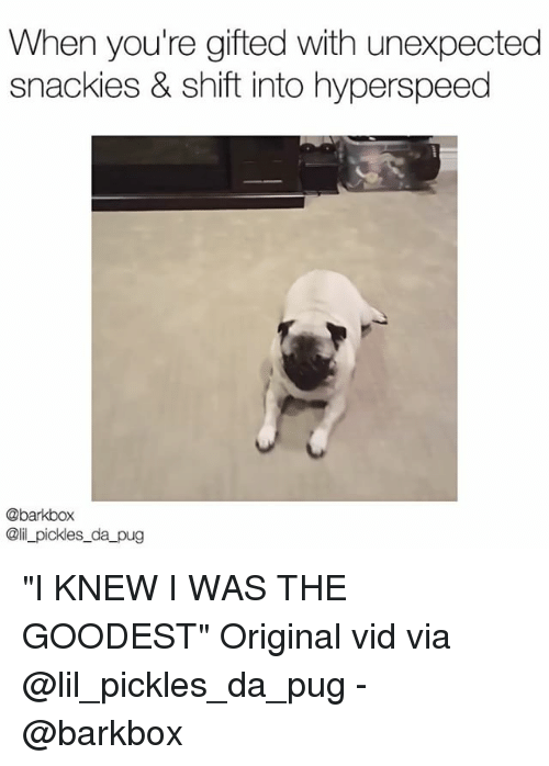 """Pugly: When you're gifted with unexpected  snackies & shift into hyperspeed  @barkbox  @il_pickles_da pug """"I KNEW I WAS THE GOODEST"""" Original vid via @lil_pickles_da_pug - @barkbox"""