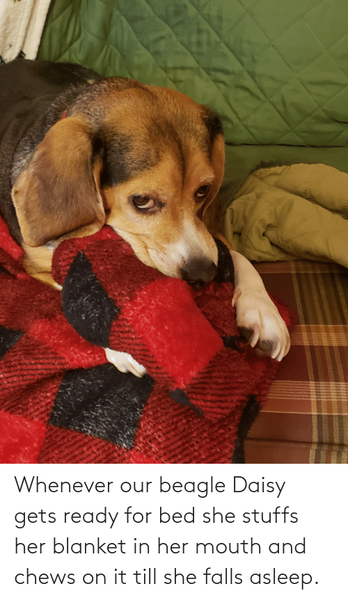 Chews: Whenever our beagle Daisy gets ready for bed she stuffs her blanket in her mouth and chews on it till she falls asleep.