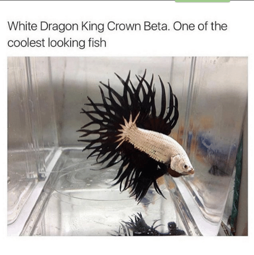 white dragon: White Dragon King Crown Beta. One of the  coolest looking fish