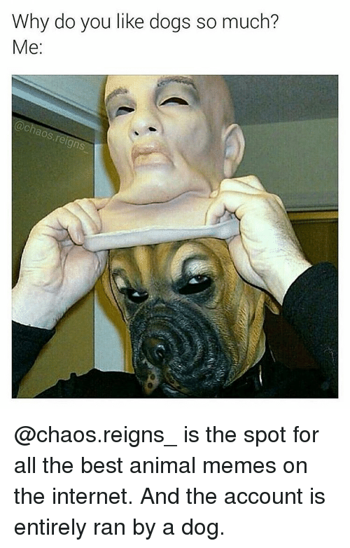 Dank Memes, Reign, and The Internet: Why do you like dogs so much?  Me  aos reign @chaos.reigns_ is the spot for all the best animal memes on the internet. And the account is entirely ran by a dog.
