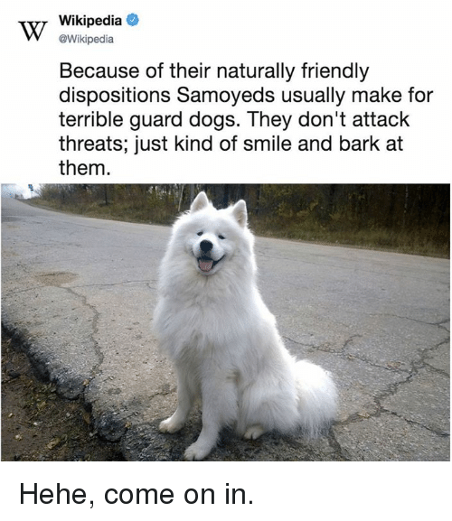 Dank, Dogs, and Wikipedia: Wikipedia  @Wikipedia  Because of their naturally friendly  dispositions Samoyeds usually make for  terrible guard dogs. They don't attack  threats; just kind of smile and bark at  them Hehe, come on in.