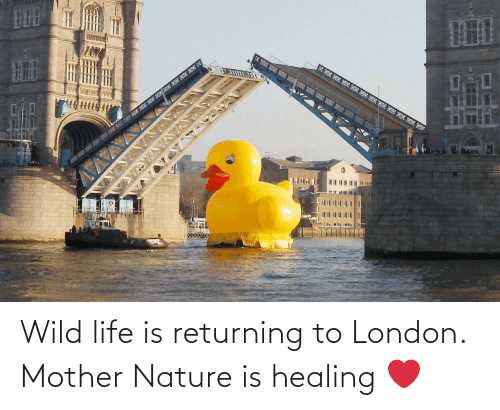 Wild: Wild life is returning to London. Mother Nature is healing ❤️