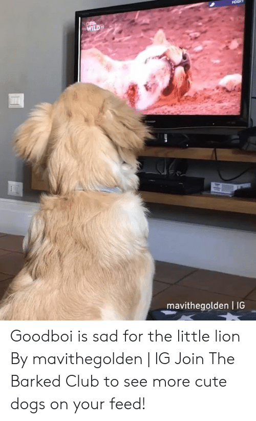 Club, Cute, and Dank: WILD  mavithegolden I IG Goodboi is sad for the little lion By mavithegolden | IG  Join The Barked Club to see more cute dogs on your feed!