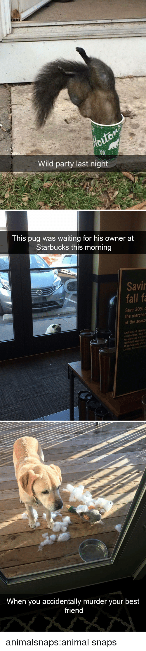 Best Friend, Fall, and Party: Wild party last night   This pug was waiting for his owner at  Starbucks this morning  Savi  fall fa  Save 30% o  the mercha  of the seaso  Excludes all Teava  merchandise local pr  eusable cup and Veri  t participating stores  Limited to  stockon   When you accidentally murder your best  friend animalsnaps:animal snaps