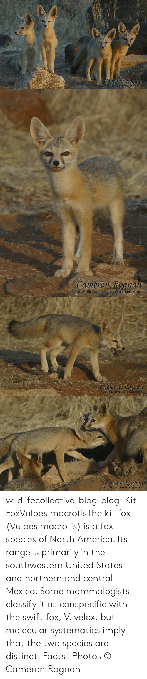swift: wildlifecollective-blog-blog:  Kit FoxVulpes macrotisThe kit fox (Vulpes macrotis) is a fox species of North America. Its range is primarily in the southwestern United States and northern and central Mexico. Some mammalogists classify it as conspecific with the swift fox, V. velox, but molecular systematics imply that the two species are distinct. Facts | Photos © Cameron Rognan