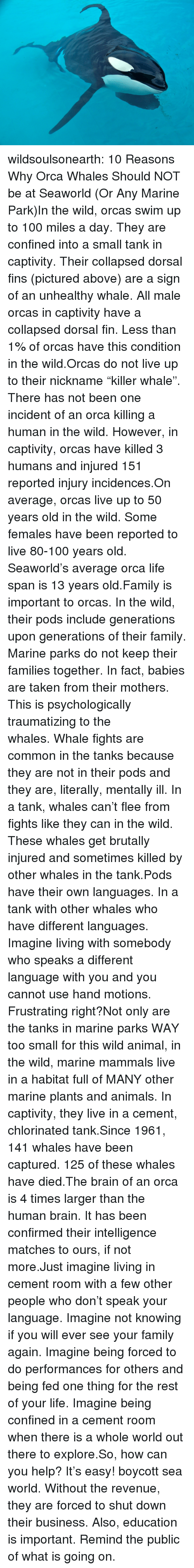 """orca: wildsoulsonearth:  10 Reasons Why Orca Whales Should NOT be at Seaworld (Or Any Marine Park)In the wild, orcas swim up to 100 miles a day. They are confined into a small tank in captivity.Their collapsed dorsal fins (pictured above) are a sign of an unhealthy whale. All male orcas in captivity have a collapsed dorsal fin. Less than 1% of orcas have this condition in the wild.Orcas do not live up to their nickname""""killer whale"""". There has not been one incident of an orca killing a human in the wild. However, in captivity, orcas have killed 3 humans and injured 151 reported injury incidences.On average, orcas live up to 50 years old in the wild. Some females have been reported to live 80-100 years old. Seaworld's average orca life span is 13 years old.Family is important to orcas. In the wild, their pods include generations upon generations of their family. Marine parks do not keep their families together. In fact, babies are taken from their mothers. This is psychologically traumatizing to the whales.Whale fights are common in the tanks because they are not in their pods and they are, literally, mentally ill. In a tank, whales can't flee from fights like they can in the wild. These whales get brutally injured and sometimes killed by other whales in the tank.Pods have their own languages. In a tank with other whales who have different languages. Imagine living with somebody who speaks a different language with you and you cannot use hand motions. Frustrating right?Not only are the tanks in marine parks WAY too small for this wild animal, in the wild, marine mammals live in a habitat full of MANY other marine plants and animals. In captivity, they live in a cement, chlorinated tank.Since 1961, 141 whales have been captured. 125 of these whales have died.The brain of an orca is 4 times larger than the human brain. It has been confirmed their intelligence matches to ours, if not more.Just imagine living in cement room with a few other people who don't speak your la"""