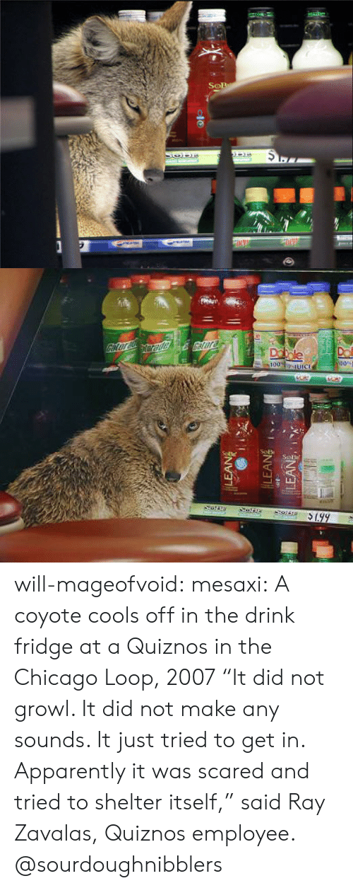 "growl: will-mageofvoid:  mesaxi:  A coyote cools off in the drink fridge at a Quiznos in the Chicago Loop, 2007 ""It did not growl. It did not make any sounds. It just tried to get in. Apparently it was scared and tried to shelter itself,"" said Ray Zavalas, Quiznos employee.  @sourdoughnibblers"