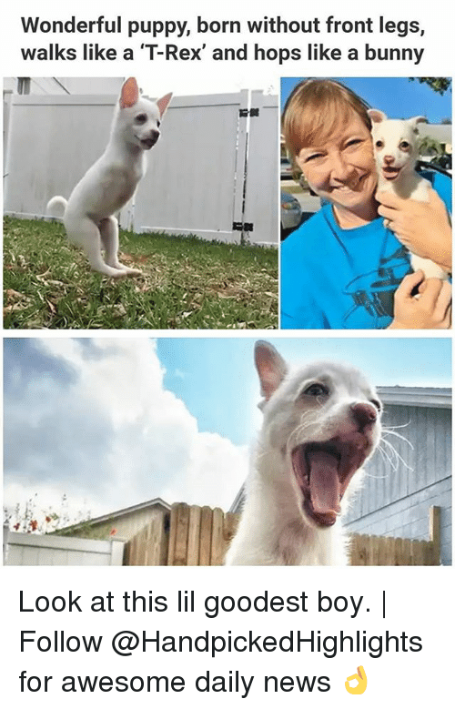 borns: Wonderful puppy, born without front legs,  walks like a T-Rex, and hops like a bunny Look at this lil goodest boy. | Follow @HandpickedHighlights for awesome daily news 👌