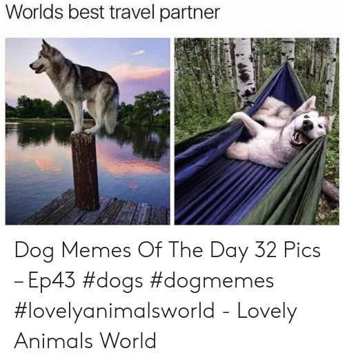 Animals, Dogs, and Memes: Worlds best travel partner Dog Memes Of The Day 32 Pics – Ep43 #dogs #dogmemes #lovelyanimalsworld - Lovely Animals World