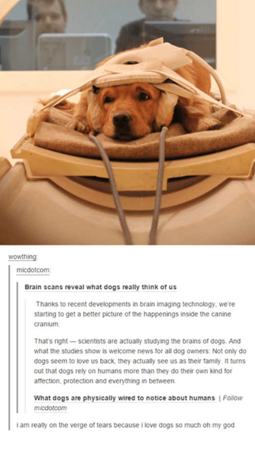 cranium: wowthin  mi dotCom:  Brain scans reveal what dogs really think of us  Thanks to recent developments in brain imaging technology, we're  starting to get a better picture of the happenings inside the canine  cranium.  That's right  scientists are actually studying the brains of dogs. And  what the studies show is welcome news for all dog owners: Not only do  dogs seem to love us back. they actually see us as their family. It turns  out that dogs rely on humans more than they do their own kind for  affection, protection and everything in between.  What dogs are physically wired to notice about humans Follow  micdotcom  iam really on the verge of tears because i love dogs so much oh my god
