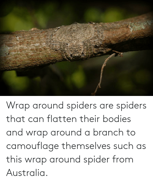 Spiders: Wrap around spiders are spiders that can flatten their bodies and wrap around a branch to camouflage themselves such as this wrap around spider from Australia.