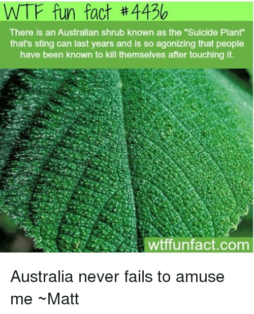 """Stingly: WTF fun fact #4436  There is an Australian shrub known as the """"Suicide Plant""""  that's sting can last years and is so agonizing that people  have been known to kill themselves after touching it  wtffunfact.com Australia never fails to amuse me ~Matt"""