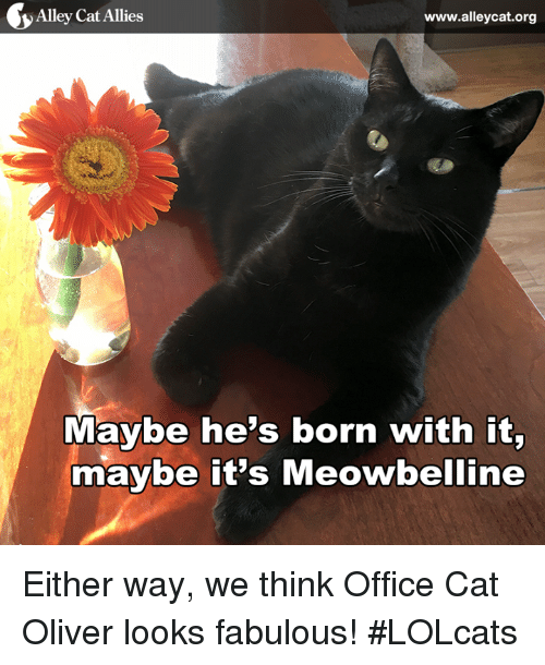 alley cats: y Alley Cat Allies  www.alleycat.org  Maybe he's born with it,  maybe it's Meowbelline Either way, we think Office Cat Oliver looks fabulous! #LOLcats