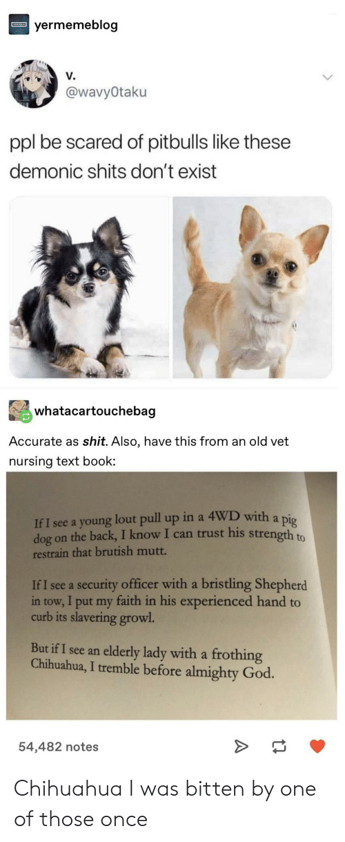 growl: yermemeblog  V.  @wavyOtaku  ppl be scared of pitbulls like these  demonic shits don't exist  whatacartouchebag  Accurate as shit. Also, have this from an old vet  nursing text book  If I see a young lout pull up in a 4WD with a pig  dog on the back, I know I can trust his strength to  restrain that brutish mutt.  If I see a security officer with a bristling Shepherd  in tow, I put my faith in his experienced hand to  curb its slavering growl  But if I see an elderly lady with a frothing  Chihuahua, I tremble before almighty God.  54,482 notes Chihuahua I was bitten by one of those once