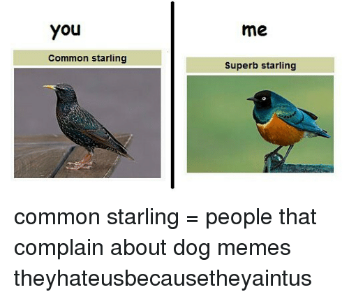 Complainer: You  me  Common starling  Superb starling common starling = people that complain about dog memes theyhateusbecausetheyaintus