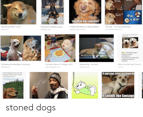 "Best 420: YOU!  OU MEAN ROLL ANOTHER?  Stoned Dog GIFs I Tenor  25 Best 420 Memes WeKnowMem420 dog-""It's 4.20 somewhere  wekn  marijuana cannabis puppy  rebloggy.com  tenor.com  emes.com  You can see he w  Chihuahua Accidentally Consumed  atestly.com  Cannabis Extract For Dogs. Is It L  dabsmagazine.com  Stoned Dog-YouTube  youtube.com  When You Get Your Friend S  me me  We lost doggo this morning then  found him an hour later he wa  very happy to see us  If you says Jesus backwards  It sounds like Sausage stoned dogs"