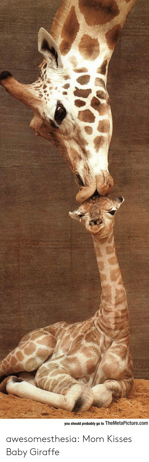 Giraffe: you should probably go to TheMetaPicture.com awesomesthesia:  Mom Kisses Baby Giraffe