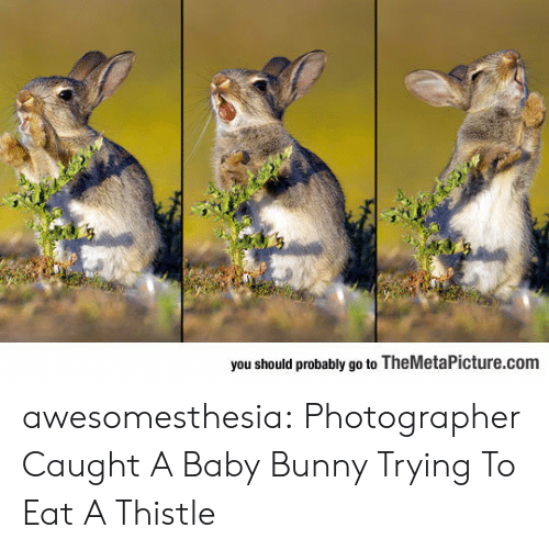themetapicture: you should probably go to TheMetaPicture.com awesomesthesia:  Photographer Caught A Baby Bunny Trying To Eat A Thistle