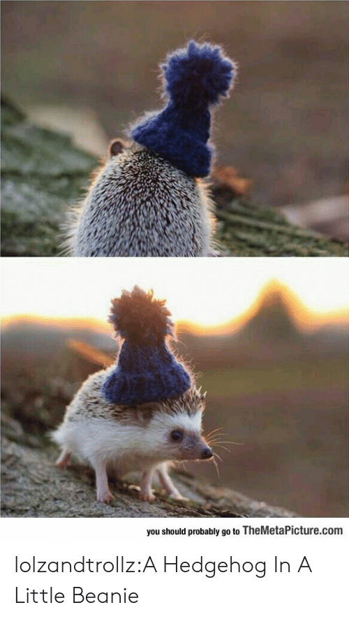 Hedgehog: you should probably go to TheMetaPicture.com lolzandtrollz:A Hedgehog In A Little Beanie