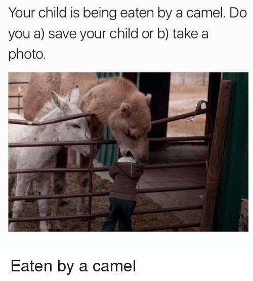 camel: Your child is being eaten by a camel. Do  you a) save your child or b) takea  photo. Eaten by a camel